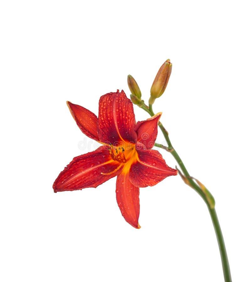 Blühender Daylily lokalisiert auf Weiß lizenzfreie stockfotografie