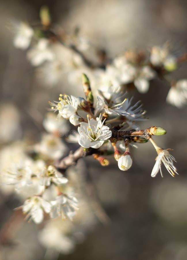 Blühender Dorn Bush-Schlehdorn, Prunus spinosa in der warmen Frühlingssonne in Griechenland lizenzfreies stockbild