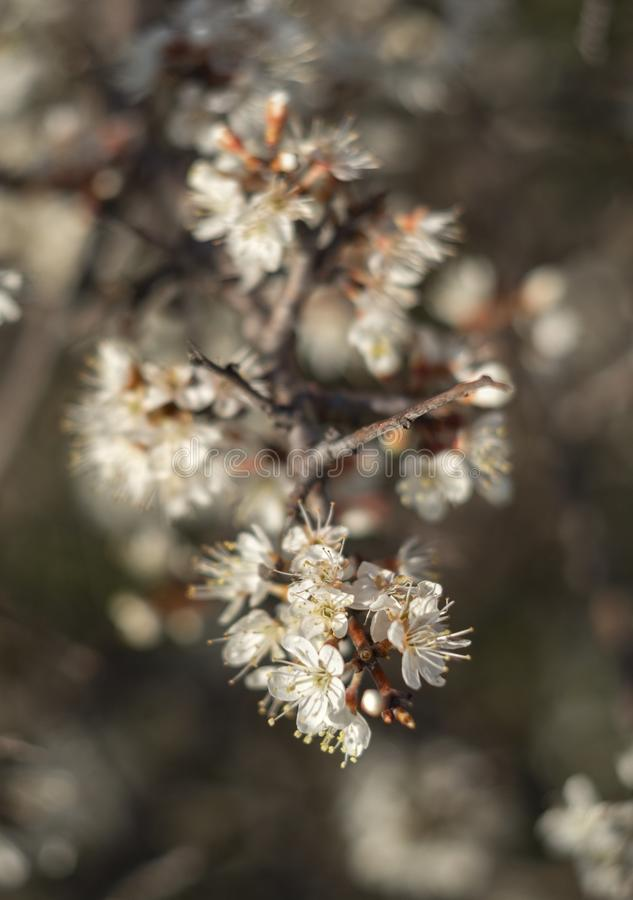 Blühender Dorn Bush-Schlehdorn, Prunus spinosa in der warmen Frühlingssonne in Griechenland lizenzfreie stockbilder