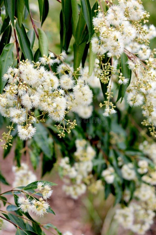 Blühender Eukalyptus lizenzfreie stockfotos
