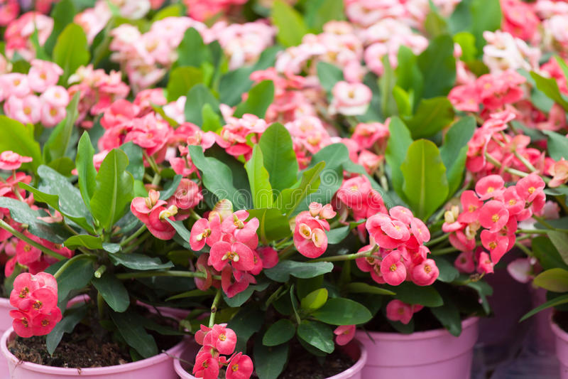 Blühender Euphorbiengummi lizenzfreies stockbild