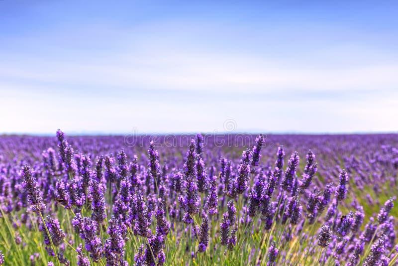 Blühender Feldhorizont der Lavendelblume Valensole Provence, Fra stockfotos