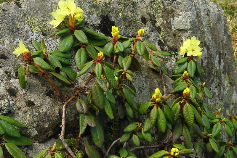 Blühender Garten der Blumen des Rhododendrons im Frühjahr lizenzfreies stockfoto