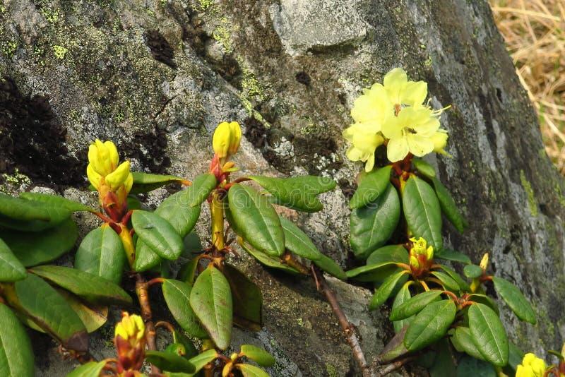 Blühender Garten der Blumen des Rhododendrons im Frühjahr lizenzfreie stockfotos