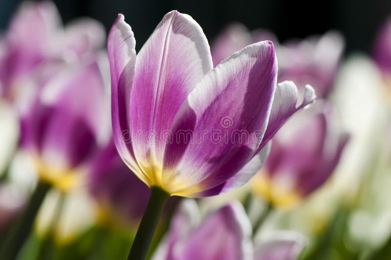 Blühender Garten der Tulpen im Frühjahr lizenzfreie stockfotografie