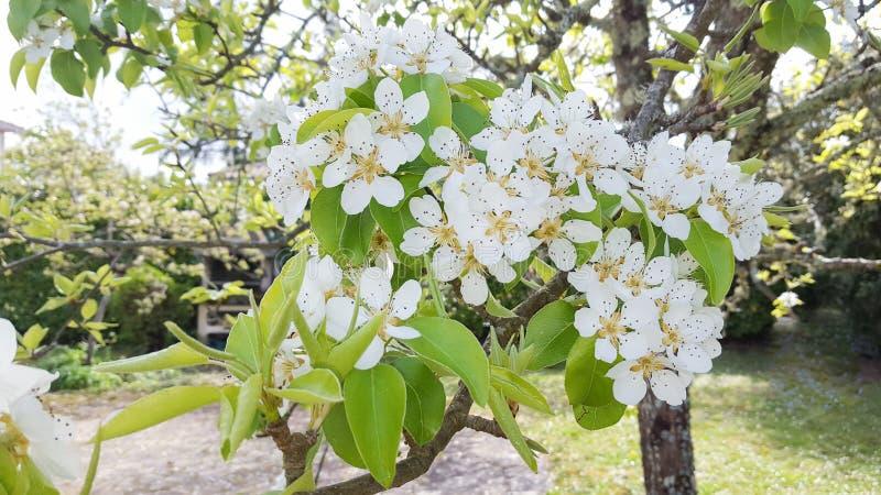 Blühender Garten des Fruchtbirnenbaums im Frühjahr lizenzfreies stockfoto