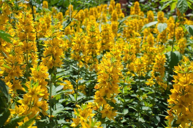 Blühender gelber Lupinenblumenabschluß oben, bunte und klare Anlage, natürlicher Hintergrund stockbild