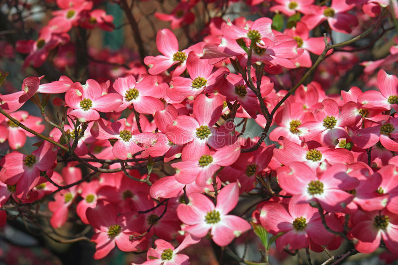 Blühender Hartriegel in der Blüte stockfotografie