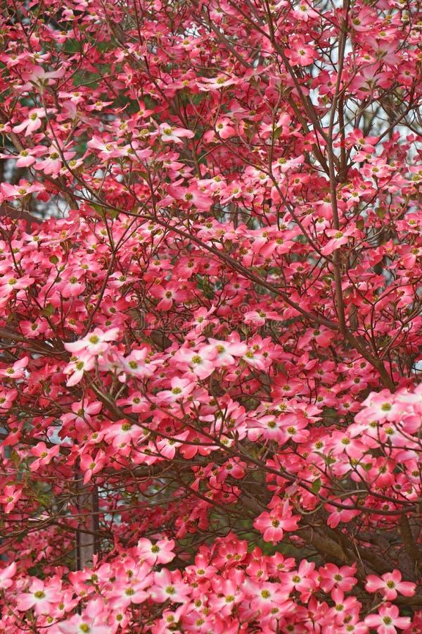 Blühender Hartriegel in der Blüte stockbild