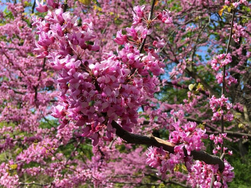 Blühender Hintergrund Kirschblütes stockfoto