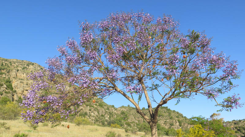 Blühender Jacaranda-Baum lizenzfreie stockfotografie
