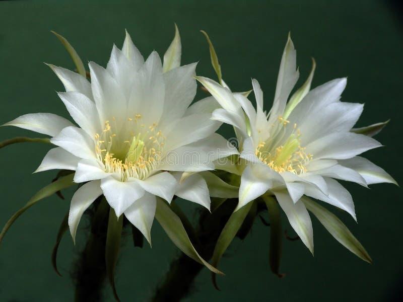 Blühender Kaktus der Familie Echinopsis. lizenzfreie stockfotografie