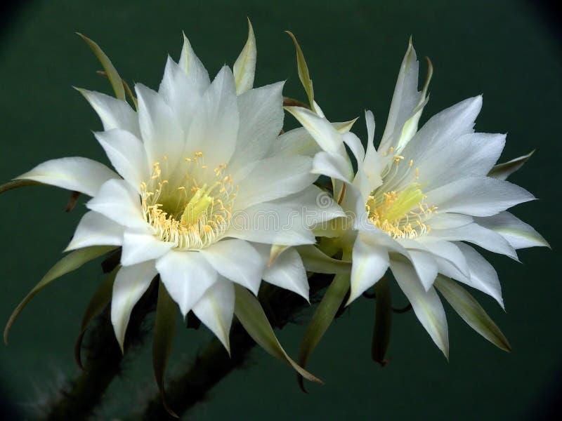 Blühender Kaktus der Familie Echinopsis. stockfoto