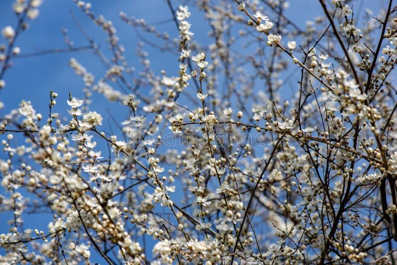 blühender Kirschbaum im Frühjahr mit blauem Himmel und weißen Blüten lizenzfreie stockbilder