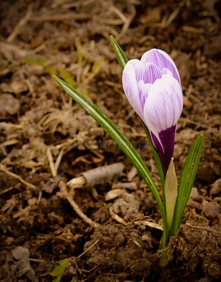 Blühender Krokus ist eine der ersten Frühlingsblumen stockfotografie