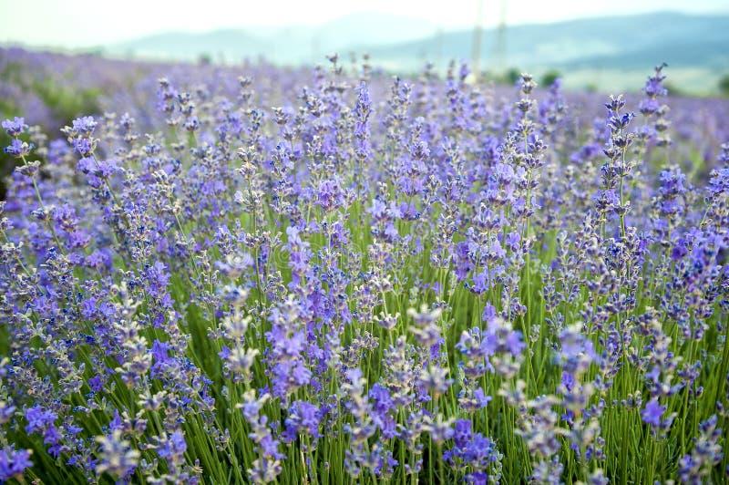 Blühender Lavendel stockbild