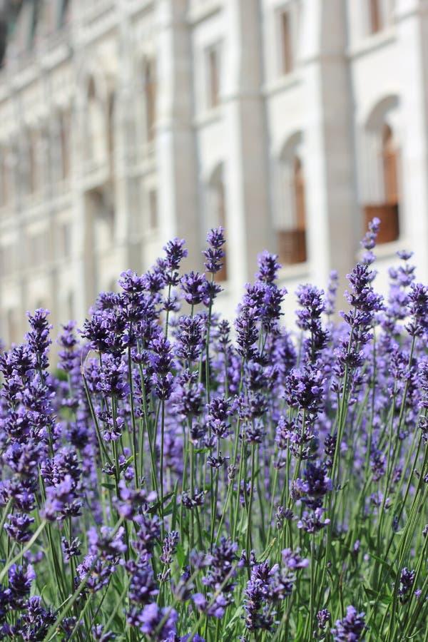 Blühender Lavendel auf einem Steinwandhintergrund stockbilder