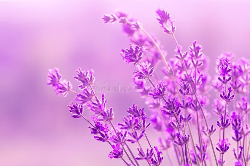 Blühender Lavendel im Sonnenlicht, in den Pastellfarben und im Unschärfehintergrund Weicher Lichteffekt Platz f?r Text lizenzfreies stockfoto