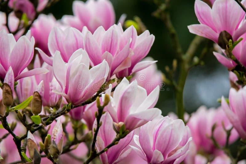 Blühender Magnoliebaum stockfoto
