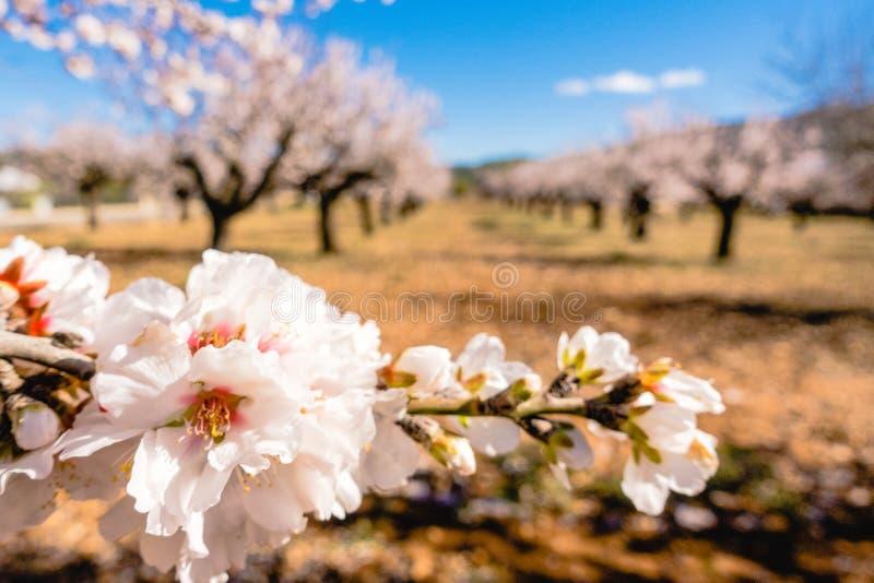 Blühender Mandelbaumast- und Mandelgartenhintergrund stockfotografie