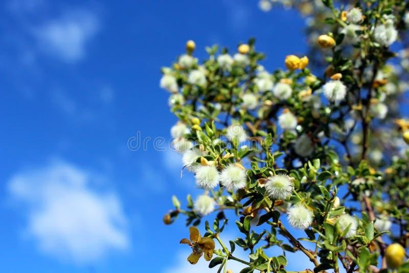 Blühender Marri-Baum stockfoto