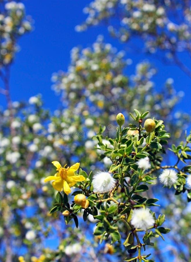 Blühender Marri-Baum stockbild