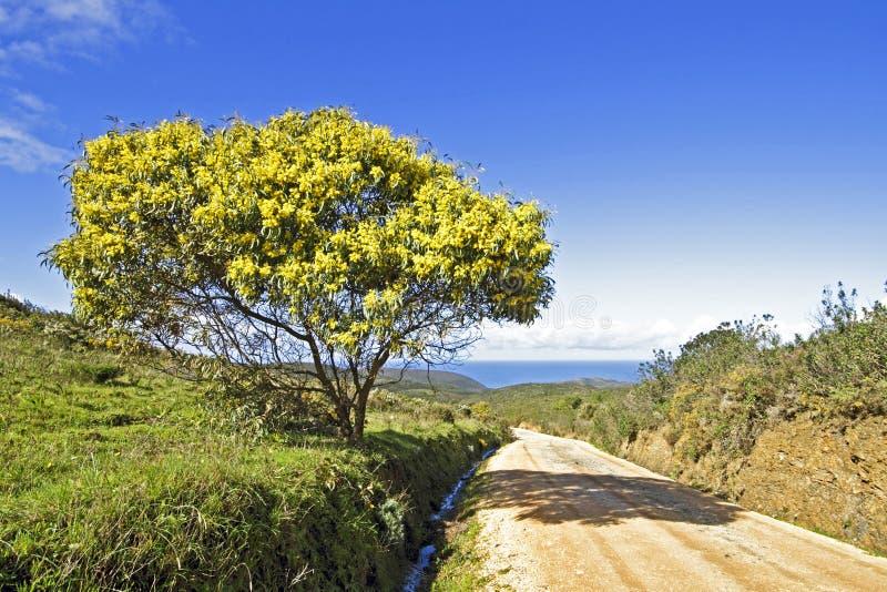 Blühender Mimosenbaum in Portugal stockfoto