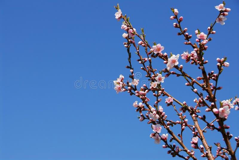 Blühender Pfirsichbaum lizenzfreies stockfoto