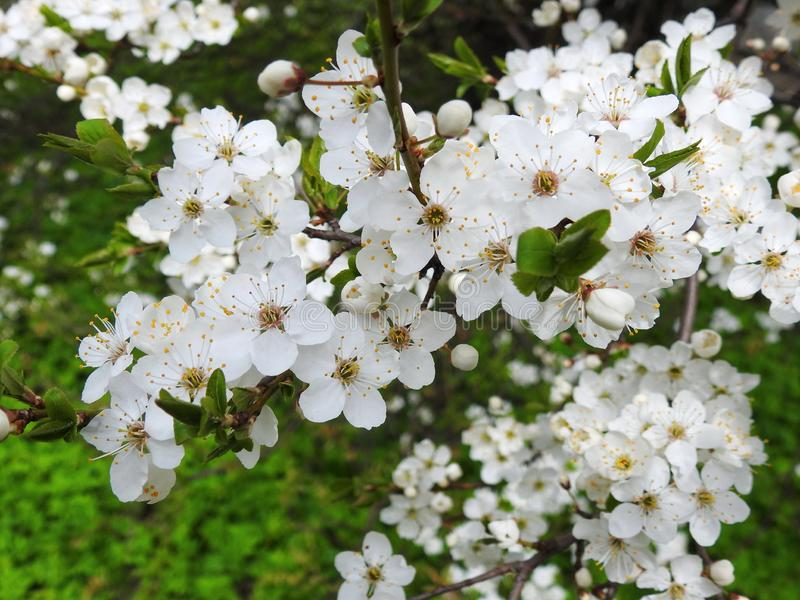 Blühender Pflaumenbaum im Frühjahr, Litauen lizenzfreie stockfotografie
