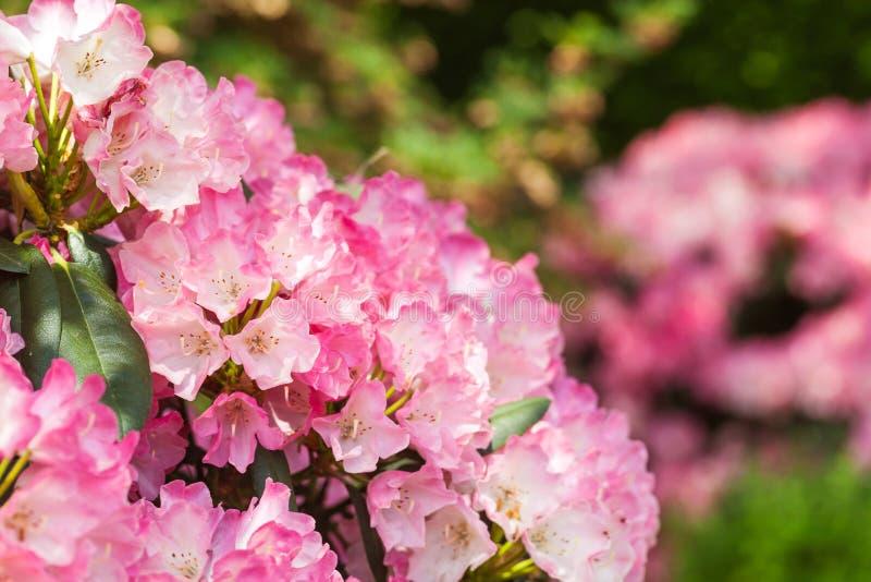Blühender rosa Rhododendron im Garten lizenzfreie stockfotografie