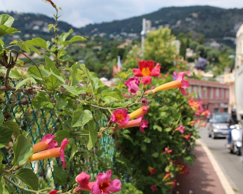 Blühender rosafarbener Strauch Weigela der alten Stadt lizenzfreie stockfotos