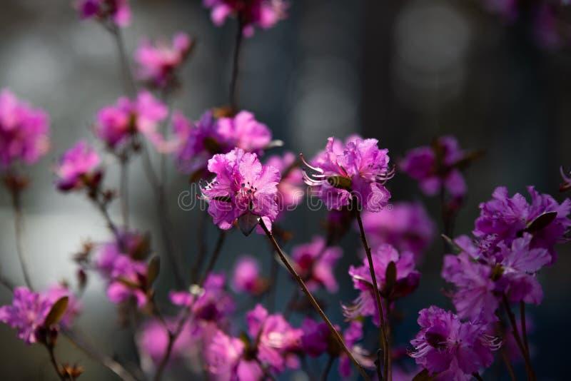 Blühender Rosmarin im Garten lizenzfreies stockbild
