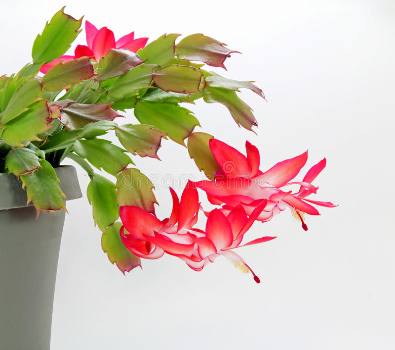 Blühender roter Weihnachtskaktus (Schlumbergera) stockfoto
