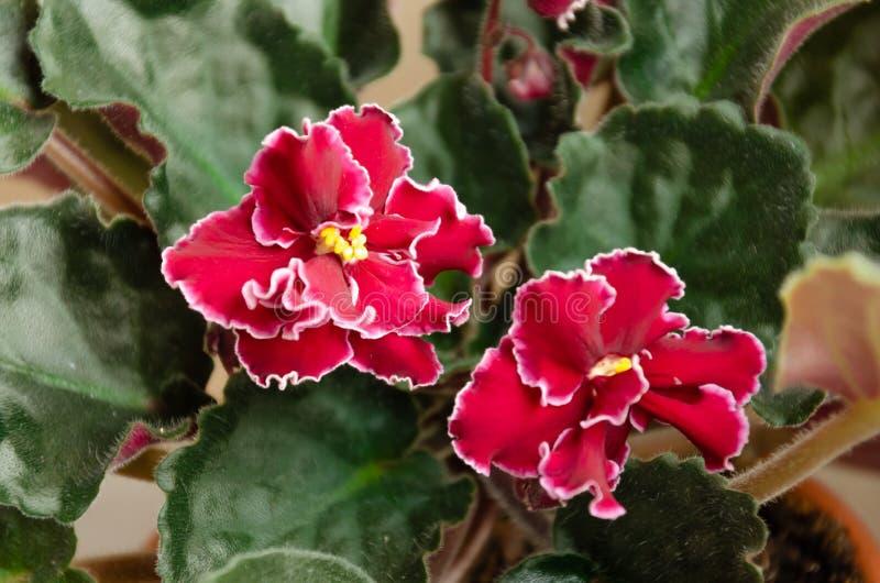 Blühender Saintpaulia, allgemein bekannt als Usambaraveilchen Eingemachte Anlage lizenzfreie stockfotografie