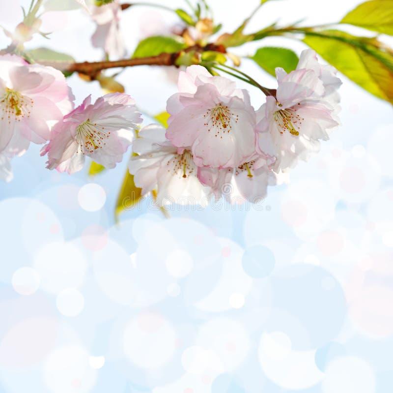 Blühender Sakura-Baum lizenzfreie stockfotos