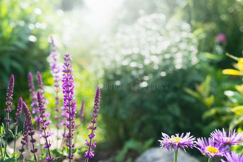 Blühender Salbei im Hintergrund eines Sommergartens, im Freien lizenzfreies stockfoto