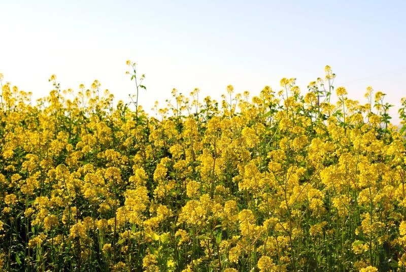 Blühender Senf in Kalifornien lizenzfreies stockfoto