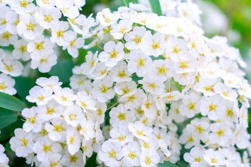 Blühender Strauch Spiraea vanhouttei stockfoto