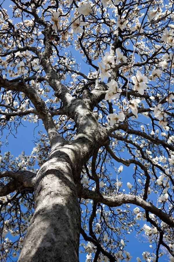 Blühender Tulpebaum lizenzfreie stockfotografie