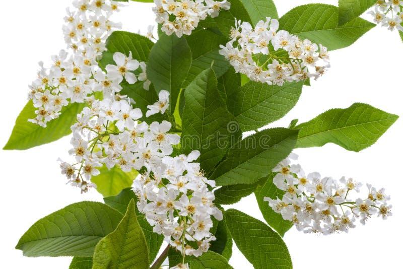Blühender Vogelkirschbaum auf Weiß stockbild