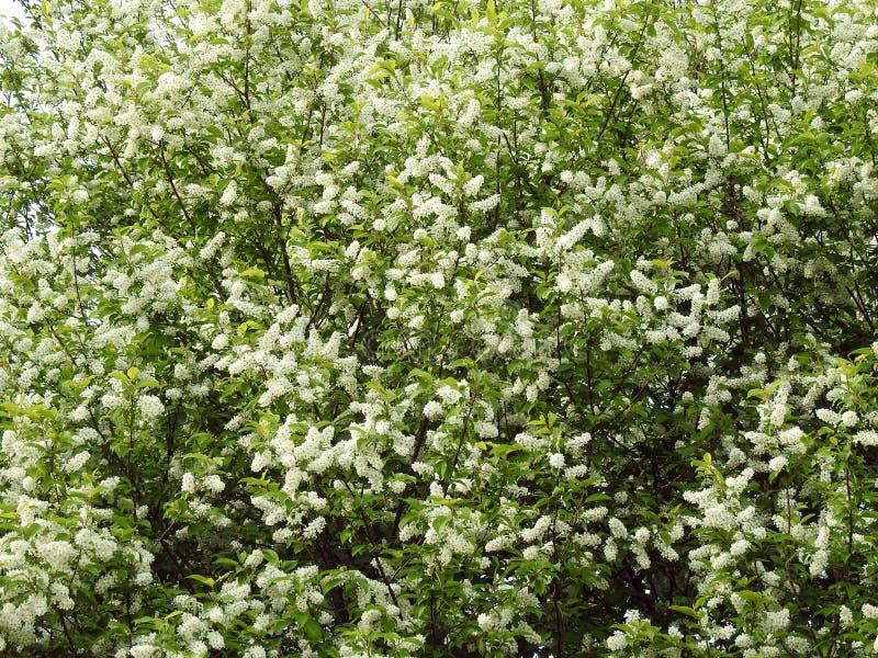 Blühender Vogelkirschbaum, Litauen stockfotografie