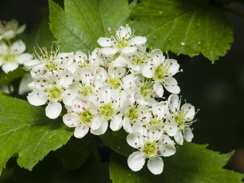Blühender Weißdorn oder maythorn, Crataegus, Blumen und Blattnahaufnahme, selektiver Fokus, flacher DOF stockfotos