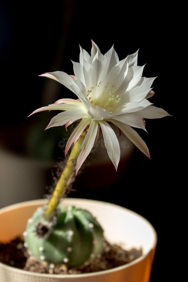 Blühender weißer Kaktus lizenzfreie stockbilder