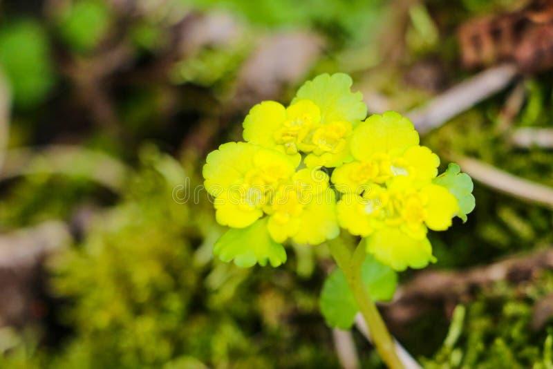 Blühender weißer Senf, Sinapis alba, Blumen, Natur stockfoto
