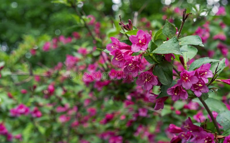 Blühender Weigela Niedrigwüchsiger Strauch Weigela Evita mit den roten und rosa Blumen lizenzfreie stockbilder
