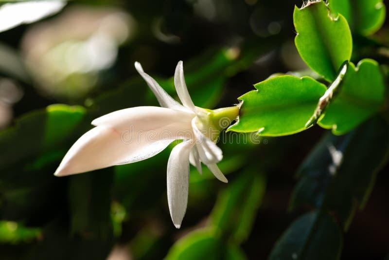 Blühender Weihnachtskaktus mit weißen Blüten stockbilder