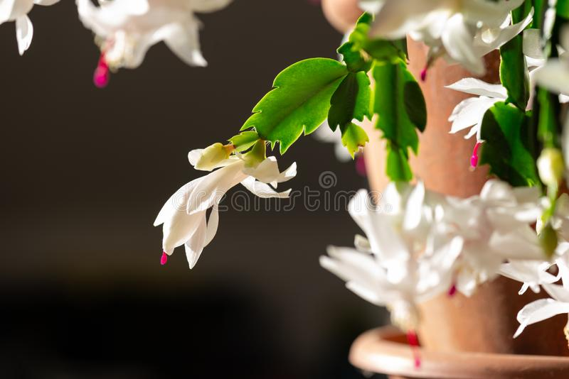 Blühender Weihnachtskaktus mit weißen Blüten stockfotos