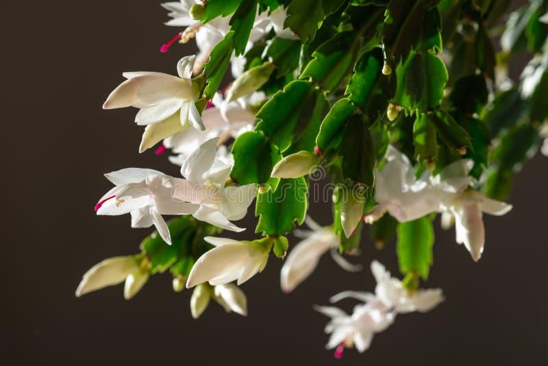 Blühender Weihnachtskaktus mit weißen Blüten lizenzfreie stockfotos