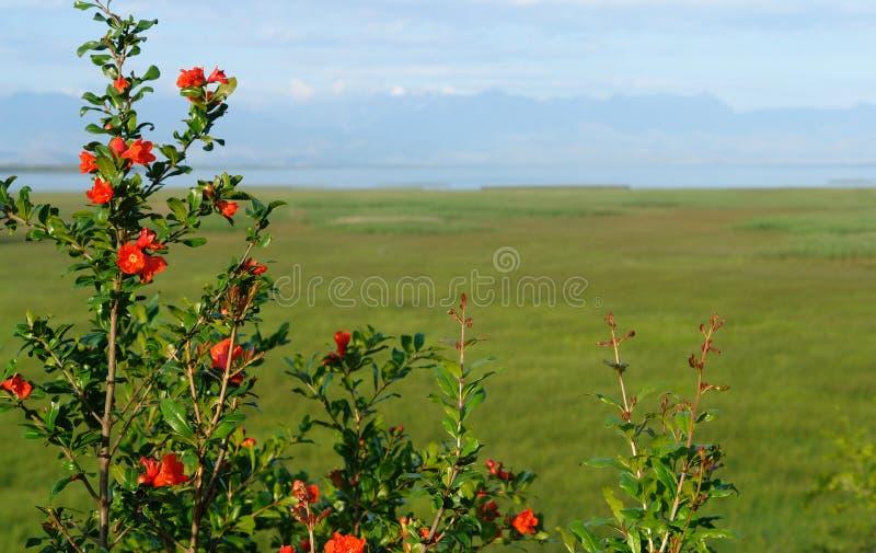 Blühender wilder Granatapfel des Busches auf dem Hintergrund einer grünen Flutwiese und des blauen Himmels lizenzfreie stockbilder