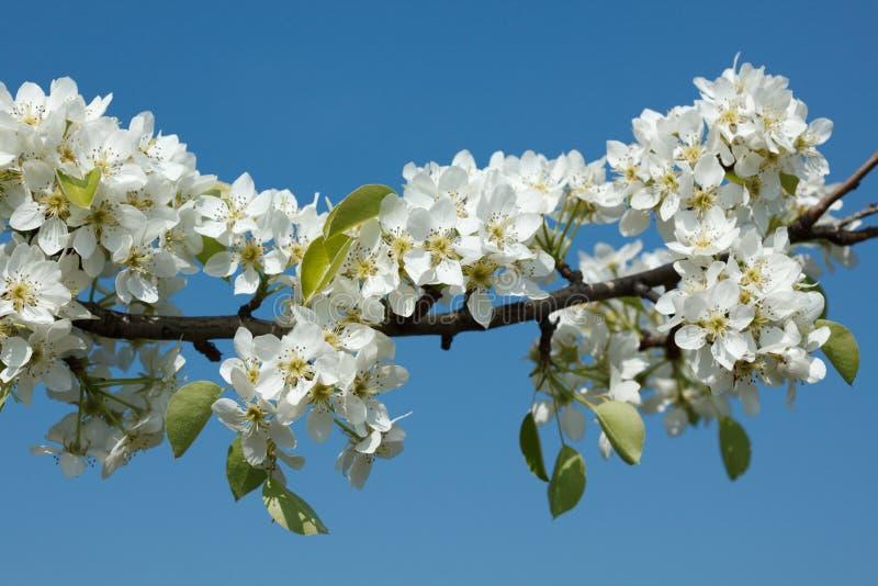 Blühender Zweig des Apfelbaums lizenzfreies stockfoto
